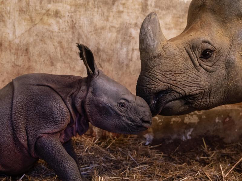 Geen hoorn, wel een harnas: Indische neushoorn geboren in ZOO Planckendael