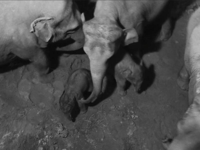 Derde olifantenbaby voor Planckendael!