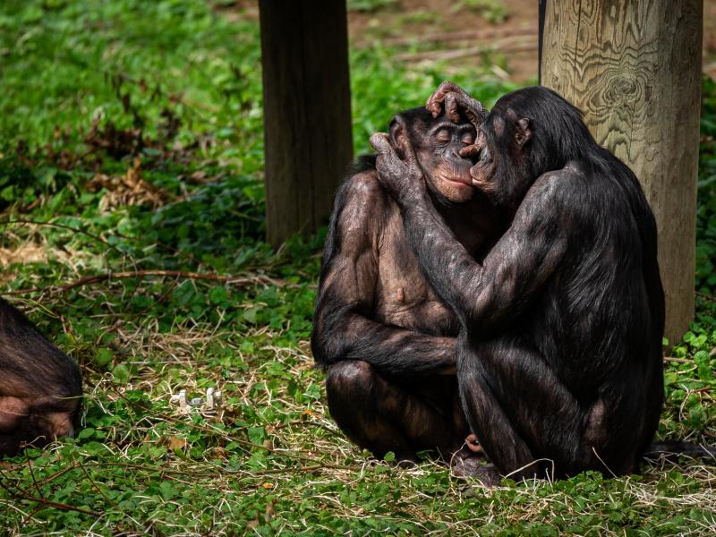 Bonobo's slingeren weer naar hartenlust rond op hun eiland