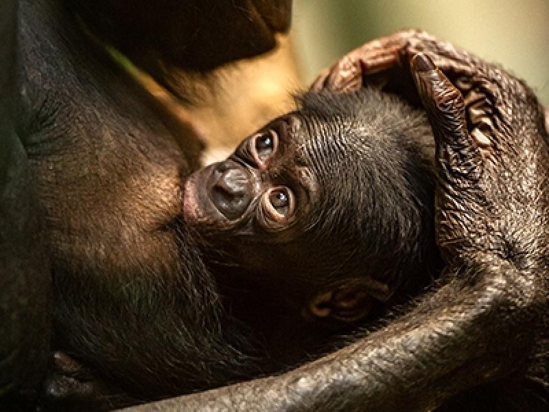 Bonobo Vyombo geboren in grote bonobogroep van ZOO Planckendael
