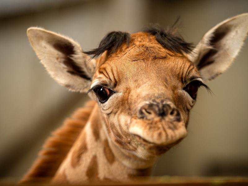 Naissance du girafon Valeye au ZOO Planckendael