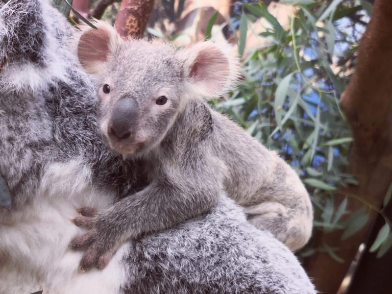 La Saint-Valentin chez les koalas du ZOO Planckendael:  bébé koala montre le bout de son nez