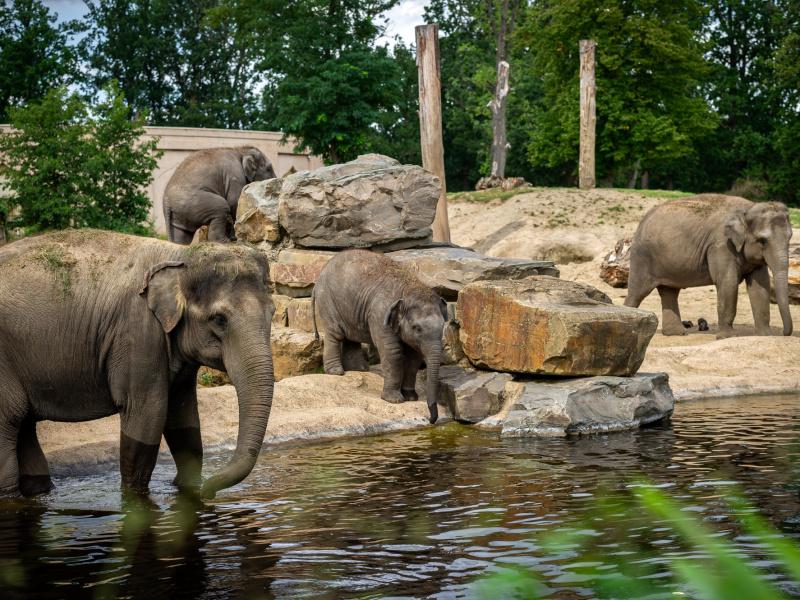 Pairi Daiza et ZOO Planckendael, partenaires dans la lutte contre l'herpès de l'éléphant