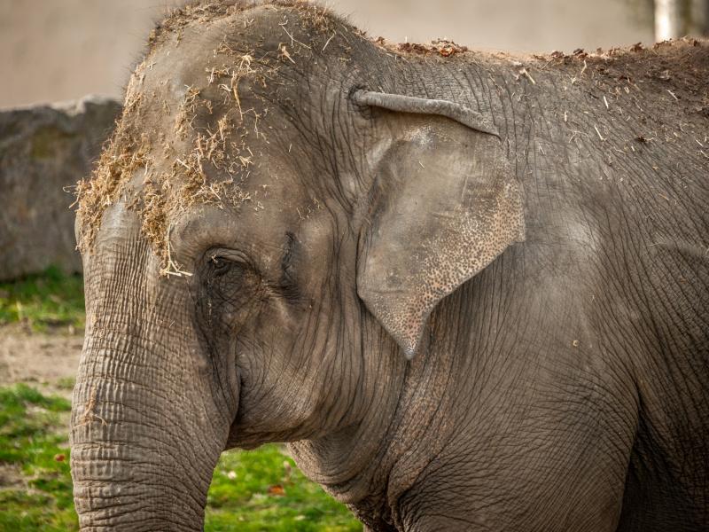Afscheid van olifant Phyo Phyo