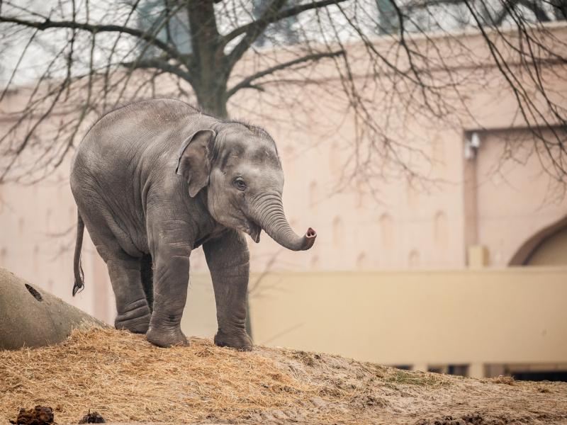 Qiyo - ambassadeur van de strijd tegen olifantenherpes