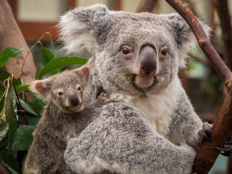 Liefdesbaby bij de koala's van Planckendael