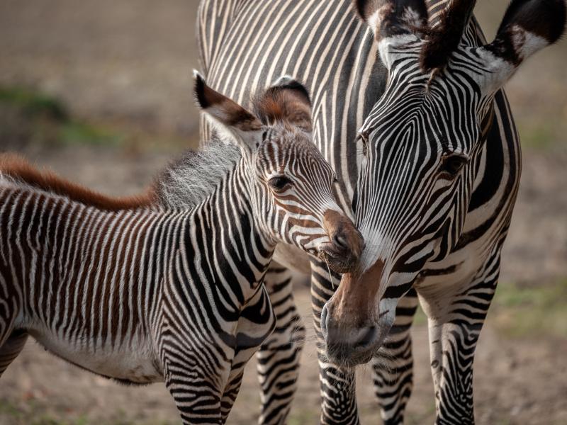Schattig veulentje in zebrakudde