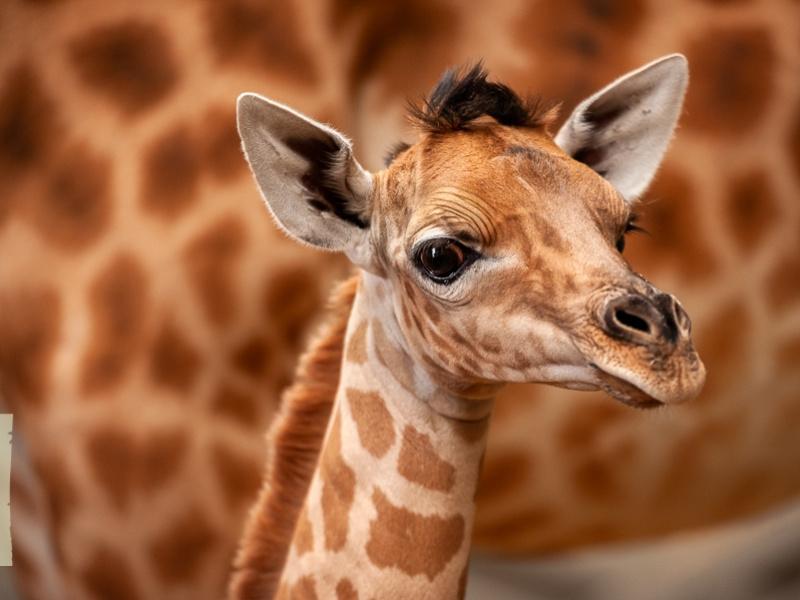 Prachtig girafje geboren