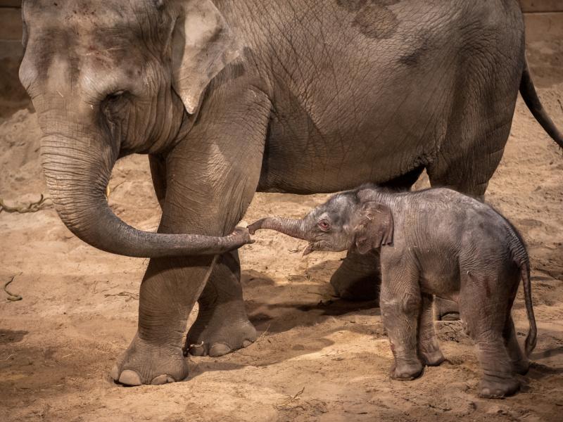 Un bébé de Noël est né dans le temple des éléphants