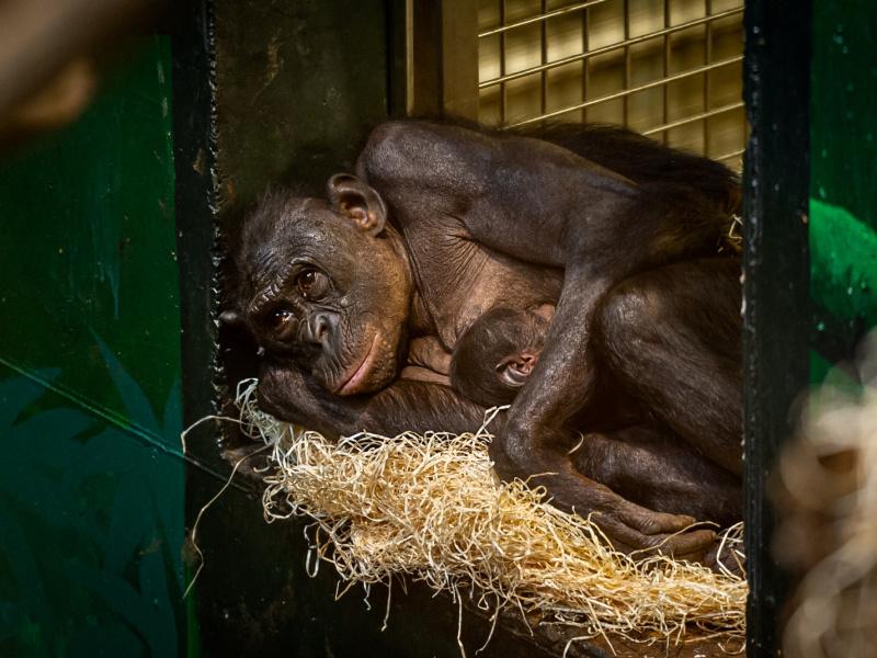Le ZOO Planckendael accueille le premier bébé bonobo dans un enclos tout neuf