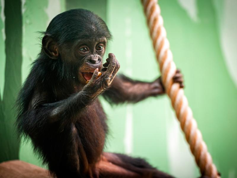 Expédition Bonobo, un nouveau paradis pour les animaux, les visiteurs et les scientifiques