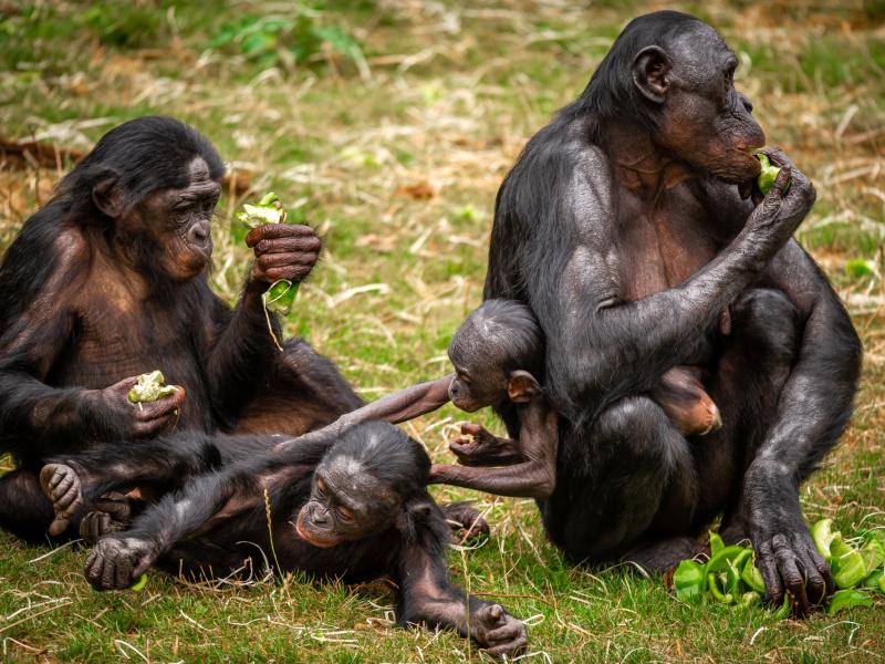 Bonobogroep in ZOO Planckendael is groter dan ooit