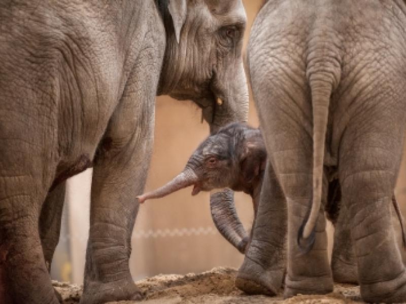 Kai-Mook, le premier éléphant belge, est devenue maman !