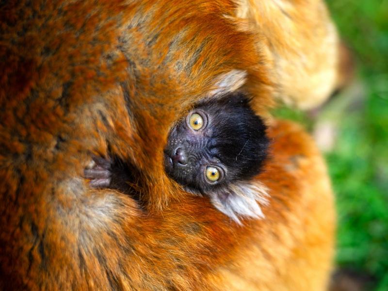 Primeur au ZOO Planckendael : la toute première naissance d'un lémur noir