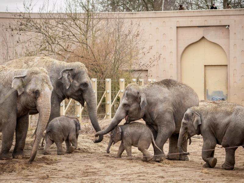 Eerste babystapjes buiten van olifantjes Suki en Tun Kai!