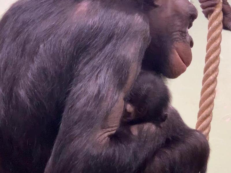 Nieuwjaarsbaby voor bonobogroep van ZOO Planckendael